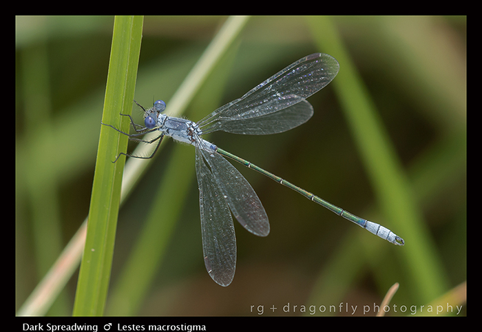 Lestes macrostigma - m - Dark Spreadwing 8-1428 WP