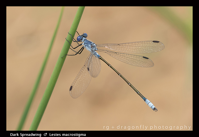 Lestes macrostigma - m - Dark Spreadwing 8-1477 WP