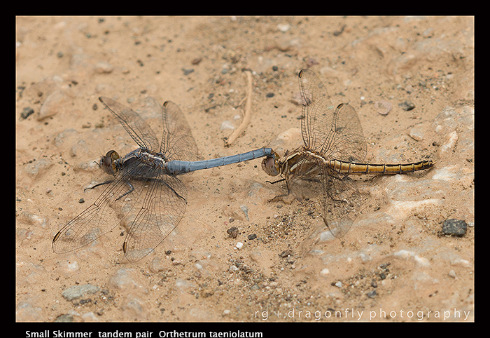 Orthetrum taeniolatum - tandem pair - 8- 1698 WP