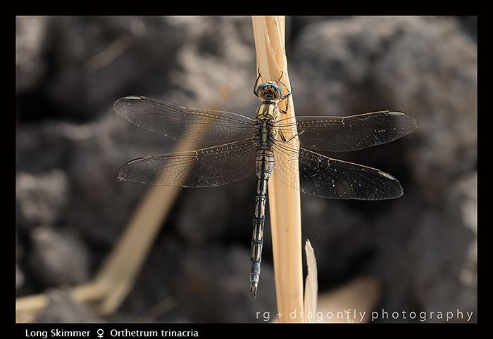 Orthetrum trinacria (f) Long Skimmer 8-0849 WP