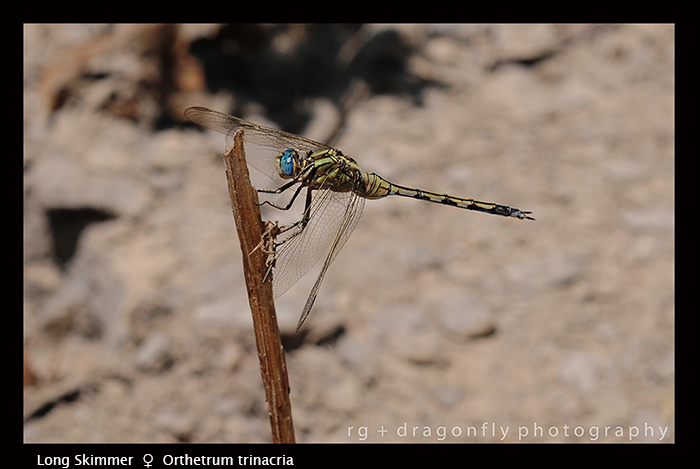 Orthetrum trinacria (f) Long Skimmer D 5676 WP