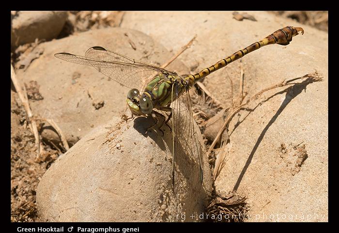 Paragomphus genei - m - Green Hooktail 8-1953 WP