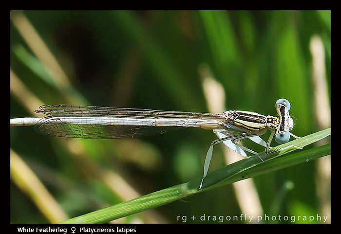 Platycnemis latipes (m tibia c up) White Featherleg D2-1 WP