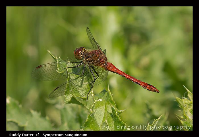 Sympetrum sanguineum ( m ) Ruddy Darter 8-2098 WP