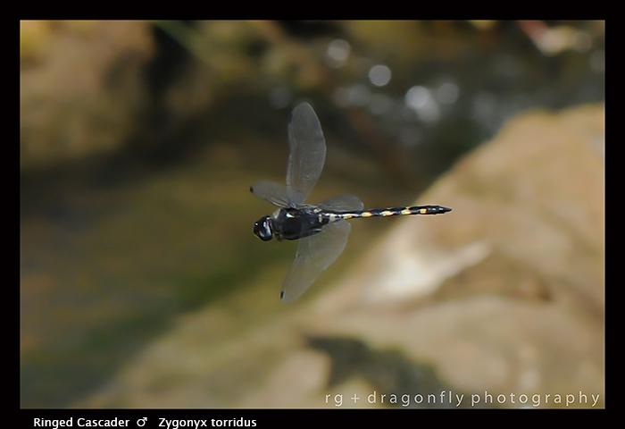 Zygonyx torridus - m - Ringed Cascader 3-2045 WP