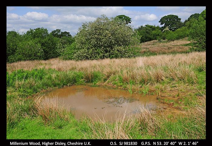 Millennium Wood, Higher Disley, Cheshire