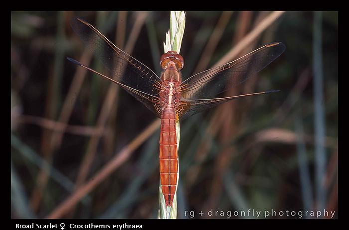 Crocothemis erythraea ( f) Broad Scarlet WP 68