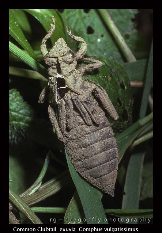 Gomphus vulgatissimus ex Common Clubtail img169-1