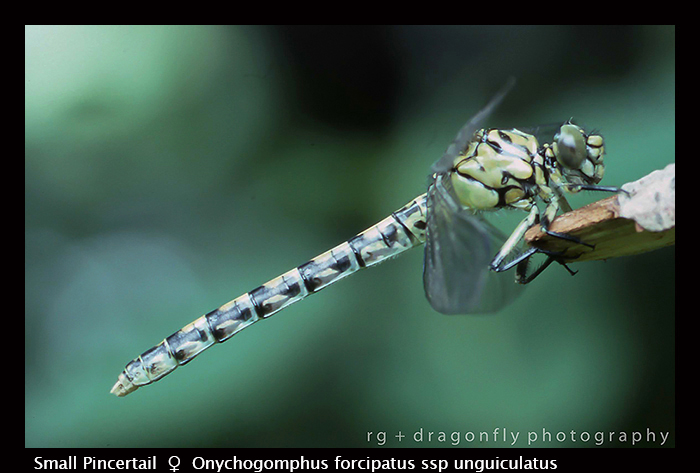 Onychogomphus forcipatus ssp unguiculatus (f) Small Pincertail 147 WP