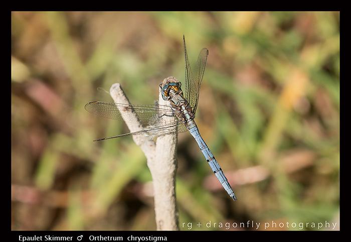 Orthetrum chrysostigma (mature m) Epaulet Skimmer 8-1000 - 700