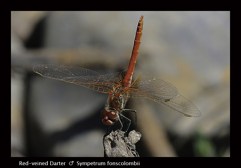 Sympetrum fonscolombii (m) Red -veined Darter Final