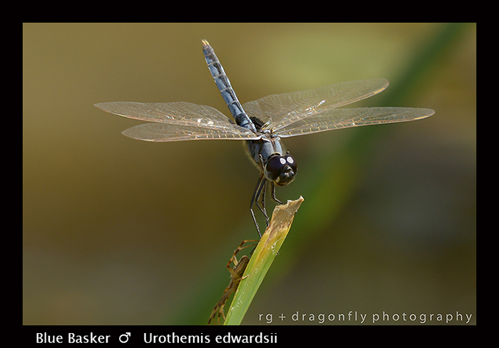 Blue Basker - Urothemis edwardsii 8-2933