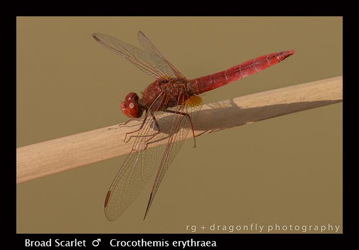 Broad Scarlet - Crocothemis erythraea 8-2918