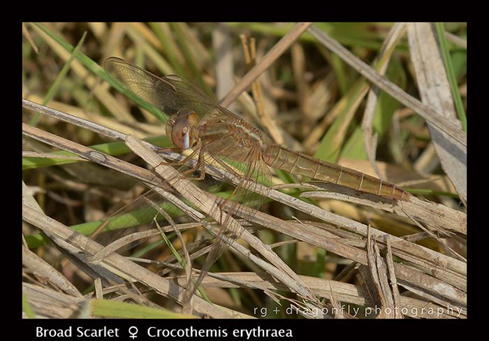 Broad Scarlet (f) Crocothemis erythraea 8-2749