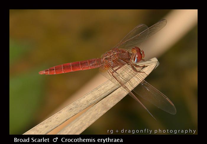 Broad Scarlet (m) Crocothemis erythraea 8-2926