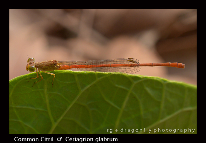 Common Citril (m) Ceriagrion glabrum 8-2973