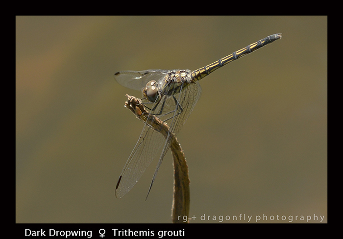 Dark Dropwing (f) Trithemis grouti 8-3073