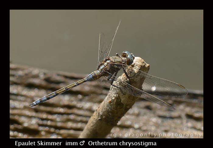 Epaulet Skimmer (imm m) Orthetrum chrysostigma 8-2894