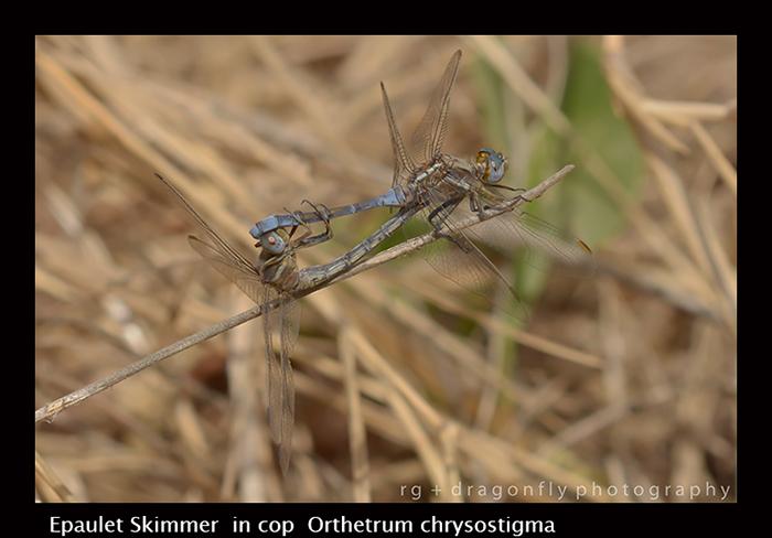 Epaulet Skimmer (in cop) Orthetrum chrysostigma 8-3004