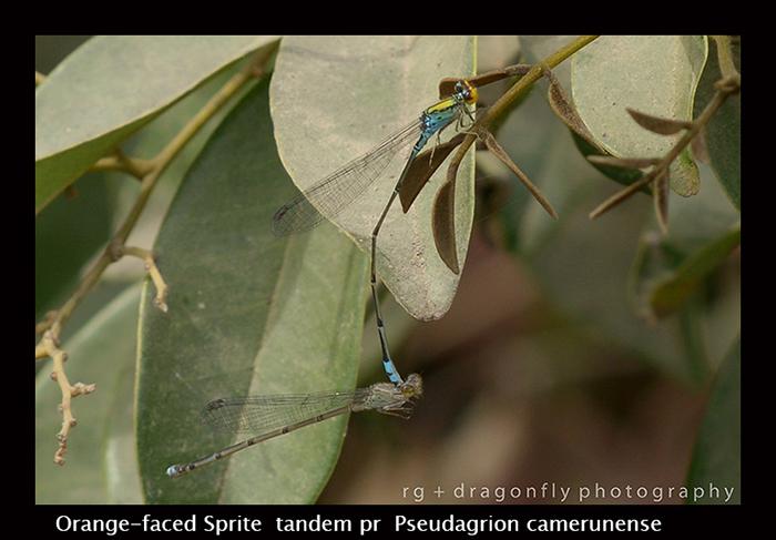 Orange-faced Sprite (tandem pr) Pseudagrion camerunense 8-2992