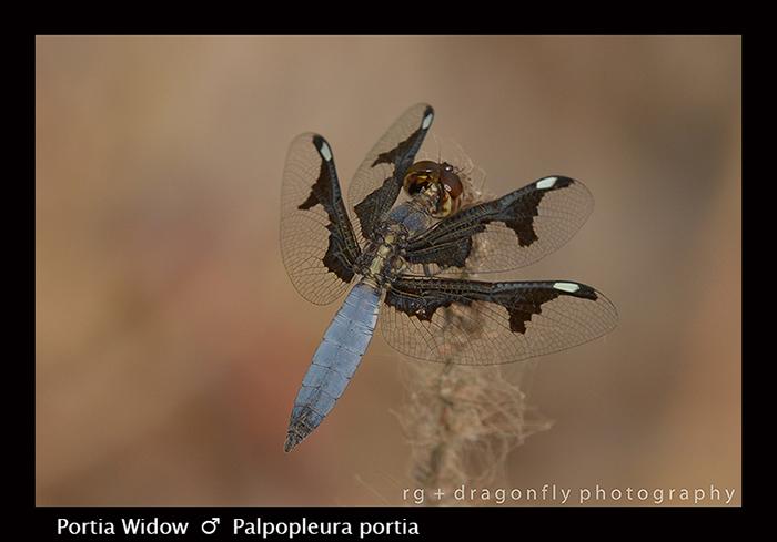 Portia Widow (m) Palpopleura portia 8-2738