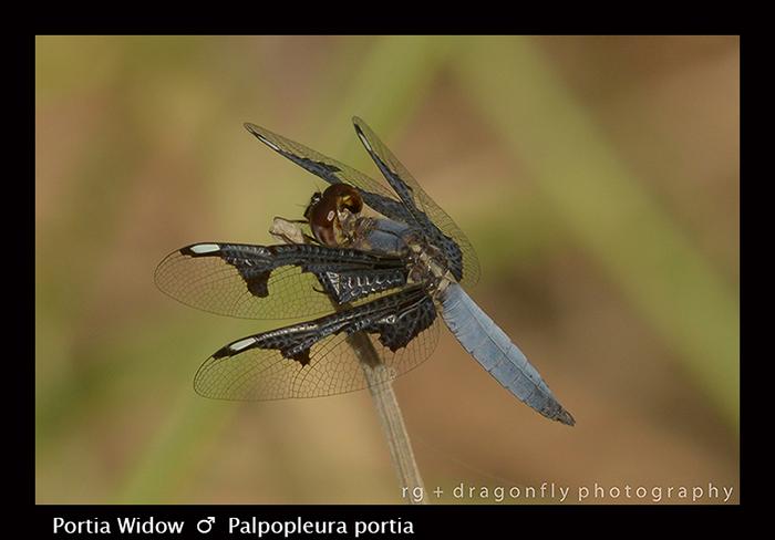 Portia Widow (m) Palpopleura portia 8-2751