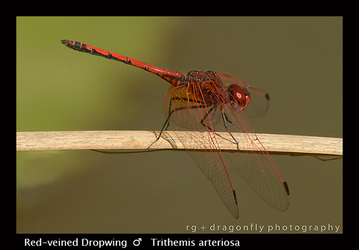 Red-veined Dropwing (m) Trithemis arteriosa 8-2957