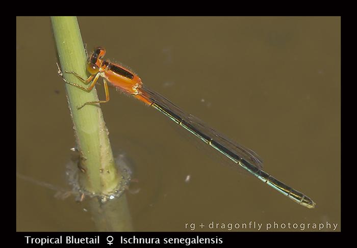 Tropical Bluetail (f) Ischnura senegalensis 8-2786