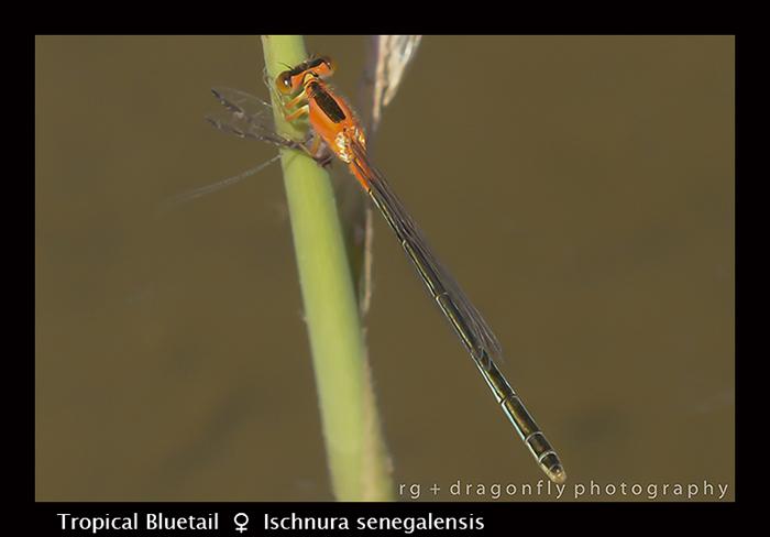 Tropical Bluetail (m) Ischnura senegalensis 8-2797