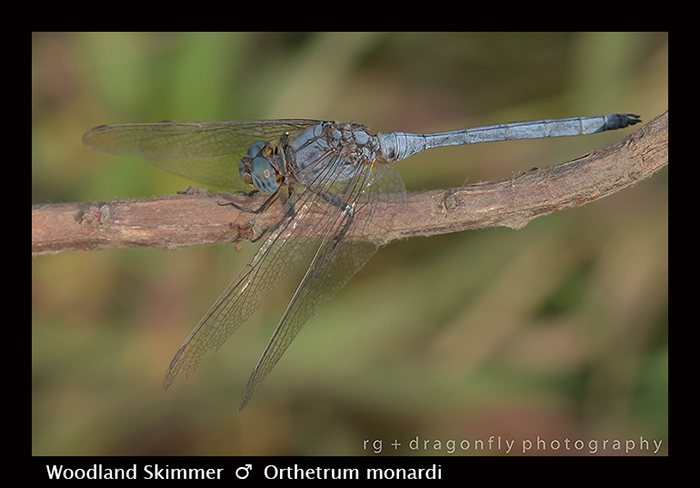 Woodland Skimmer - (m) - Orthetrum monardi 8-2969
