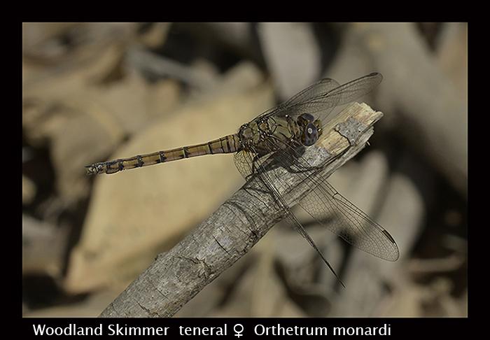 Woodland Skimmer - ( ten f) - Orthetrum monardi 8-3058