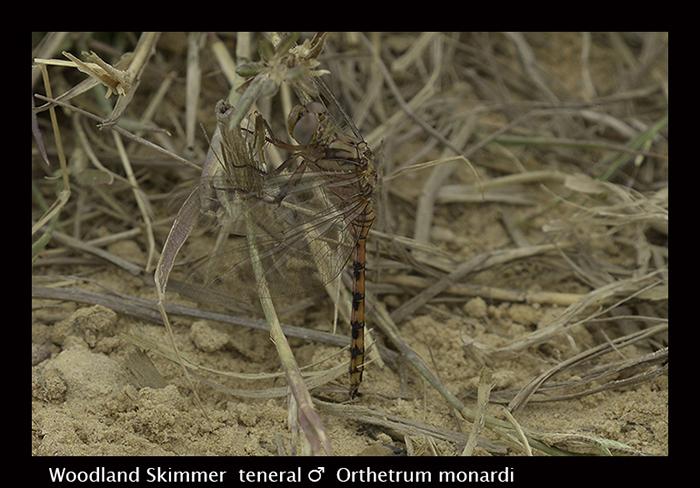 Woodland Skimmer - ( ten m ) - Orthetrum monardi 8-3017