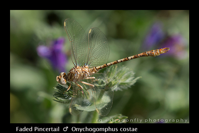 Onychogomphus costae - (ten m) - Faded Pincertail 8-3172 WP