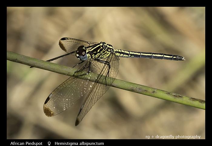 African Piedspot (f) Hemistigma albipunctum 3739 Web