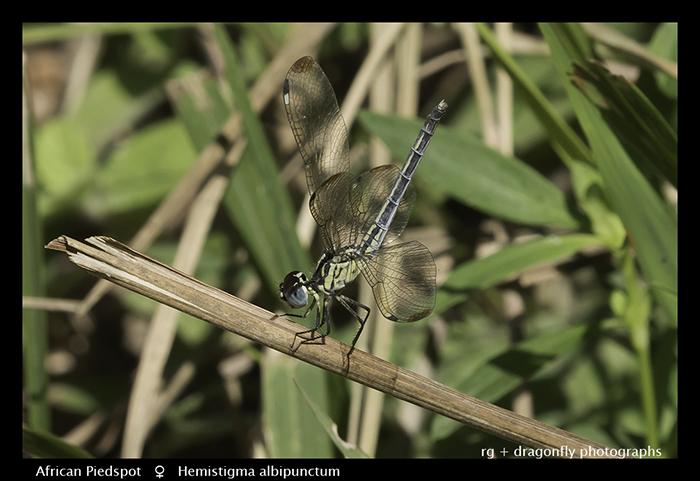 African Piedspot (f) Hemistigma albipunctum 3762 Web