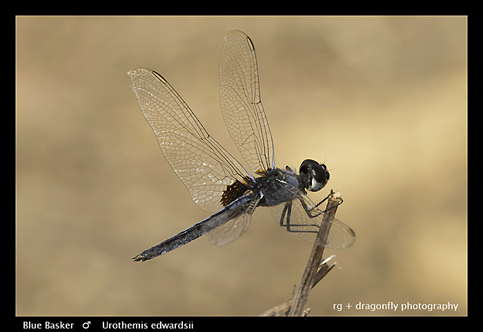 Blue-Basker-m-Urothemis-edwardsii