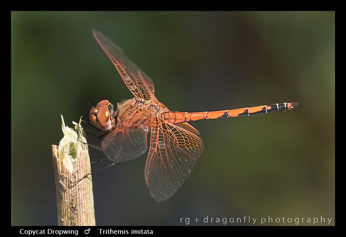 Copycat-Dropwing-m-Trithemis-imitata-4069