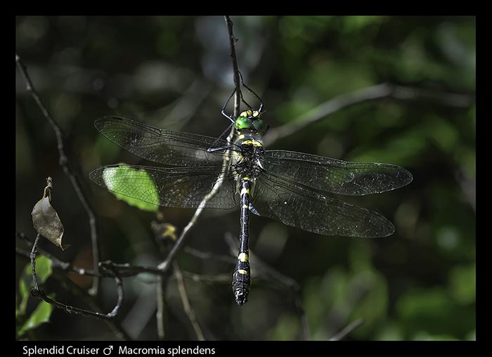 Macromia-splendens-m-Splendid-Cruiser-