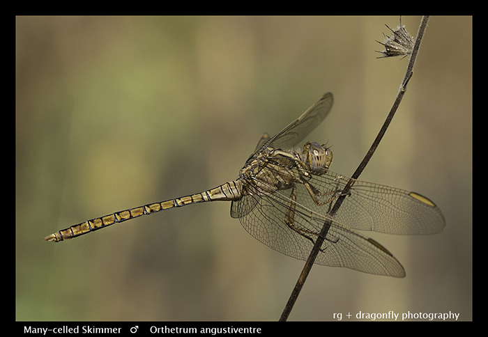 Many -celled Skimmer (m) Orthetrum angustiventre
