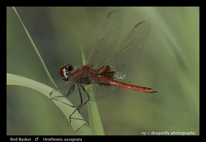 Red Basker (m) Urothemis assignata 3729 Web