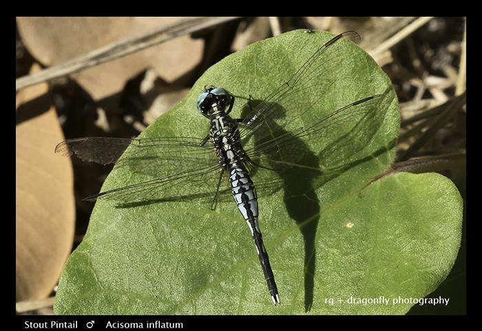 Stout Pintail (m) Acisoma inflatum 3707 Web