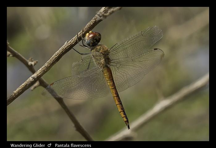Wandering Glider (aged m) Pantala flavescens 3827 Web