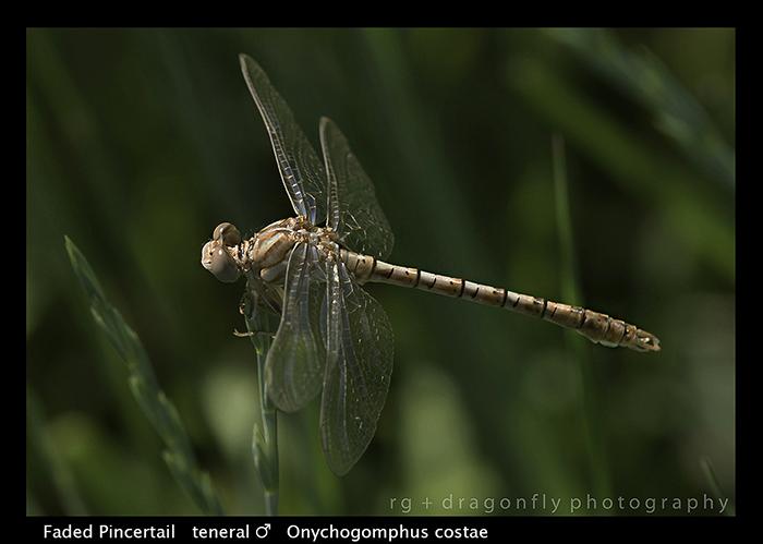 male ) - Onychogomphus costae WP
