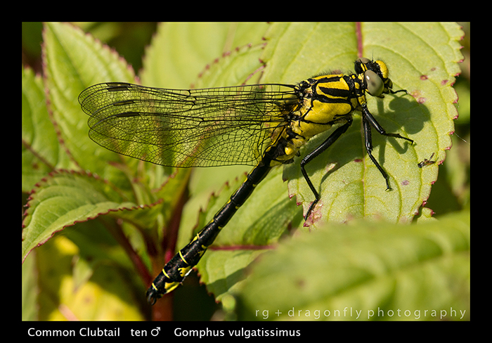 Gomphus vulgatissimus (ten m) Common Clubtail WP 8-4354