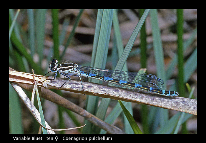 Coenagrion pulchellum (f) Variable Bluet WP S 396 CS5