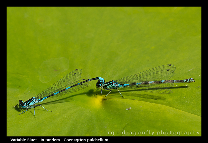 Coenagrion pulchellum (in tandem) Variable Bluet WP 8-4470