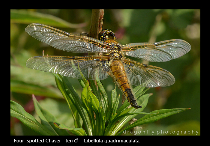 Libellula quadrimaculata - (m) Four-spotted Chaser WP 8-4415