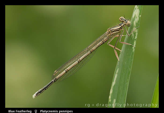 Platycnemis pennipes (f) Blue Featherleg WP 8- 4493