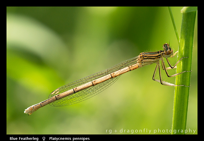 Platycnemis pennipes (f) Blue Featherleg WP 8- 4501