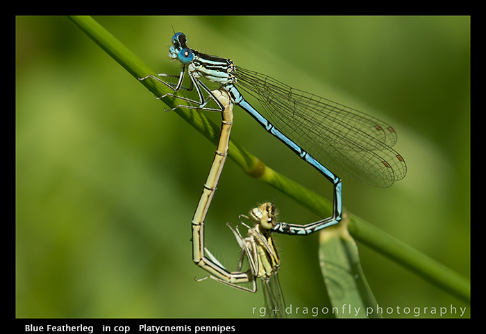 Platycnemis pennipes (in cop) Blue Featherleg WP 8-4508